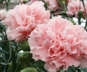 toko Bunga Anyelir