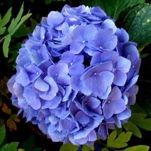 toko Bunga Hydrangea