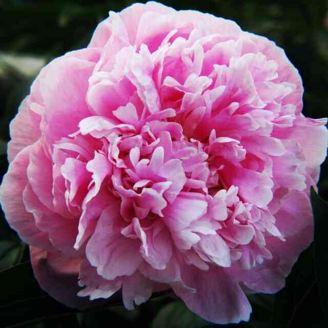 Bunga Anyelir Jenis Bunga Untuk Buket Pernikahan
