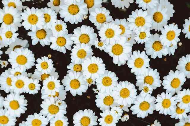 Bunga daisy Jenis Bunga Untuk Buket Pernikahan