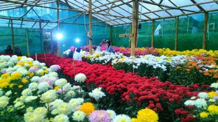 Bunga krisan Jenis Bunga Untuk Buket Pernikahan